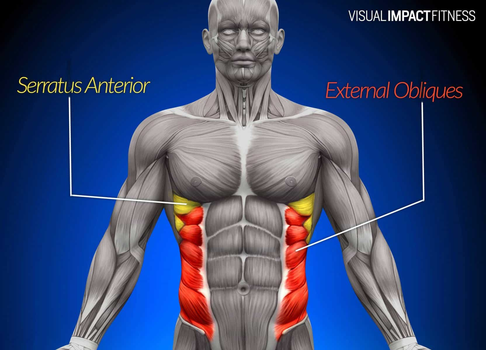 obliques and serratus muscle diagram